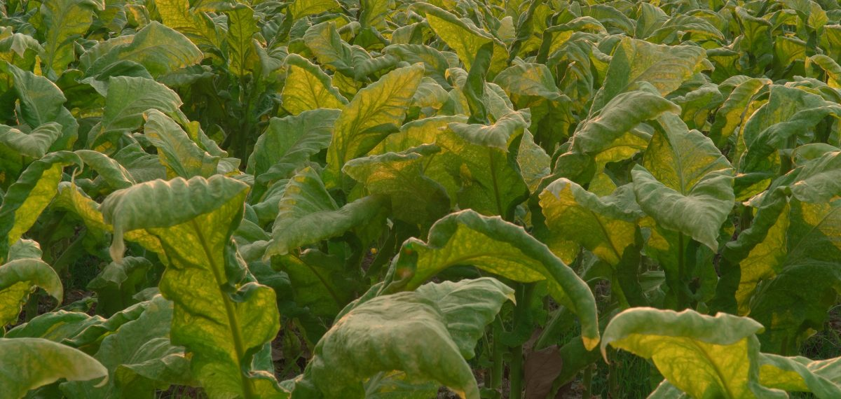 A BRIEF SUMMARY OF WORLDWİDE TOBACCO PRODUCTION
